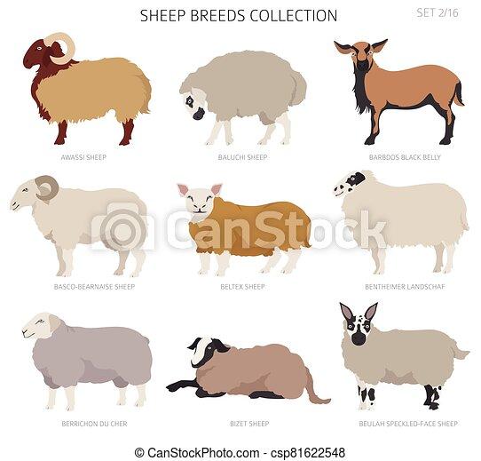 Sheep breeds collection 2. Farm animals set. Flat design - csp81622548
