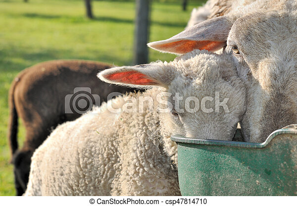 sheep drinking in trough - csp47814710
