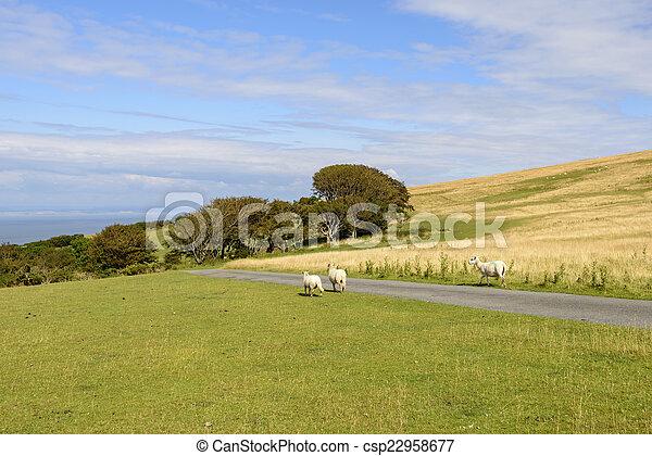 Ovejas en un camino en el páramo, Exmoor - csp22958677