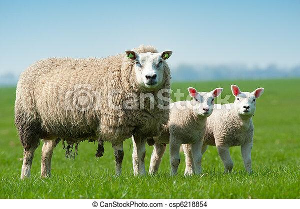 sheep, fjäder, lamm, henne, mor - csp6218854