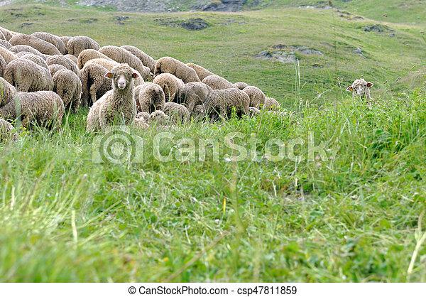 sheep flock in grass - csp47811859