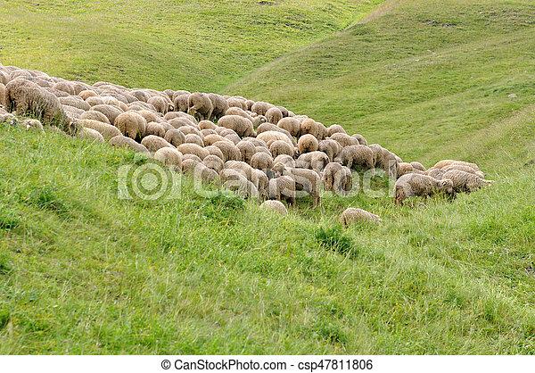sheep flock in meadow - csp47811806