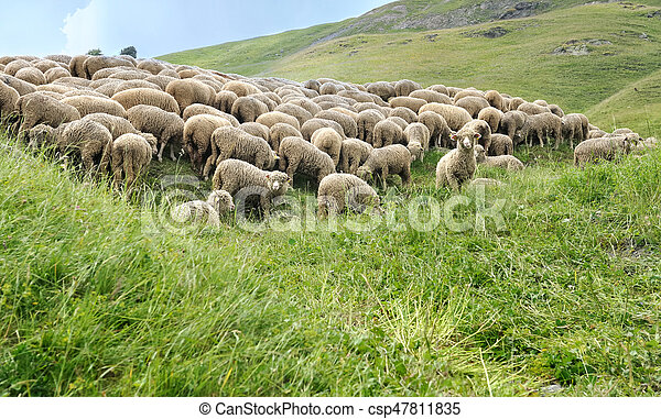 sheep flock in meadow - csp47811835