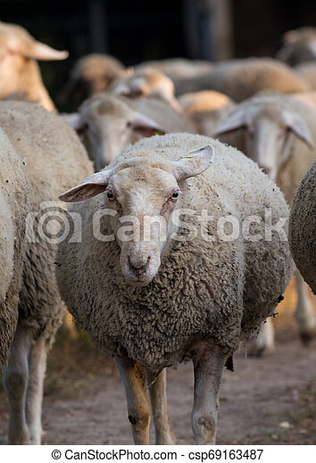 Sheep flock on ranch - csp69163487