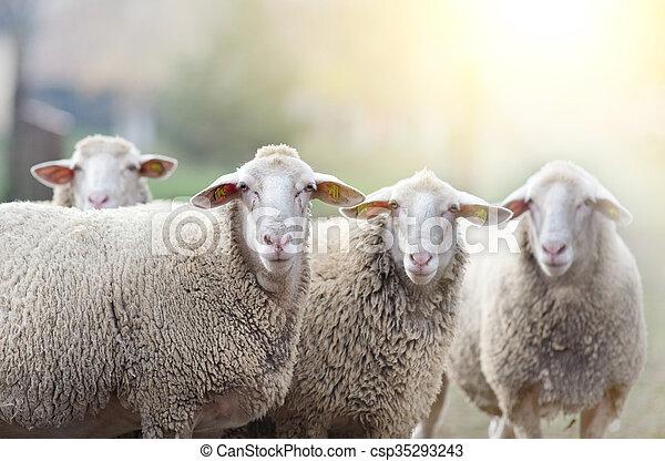 Sheep flock standing on farmland - csp35293243