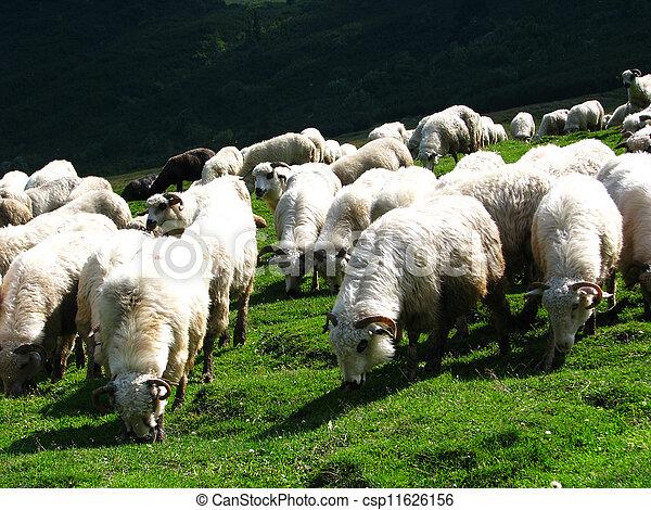 Sheep flock - csp11626156