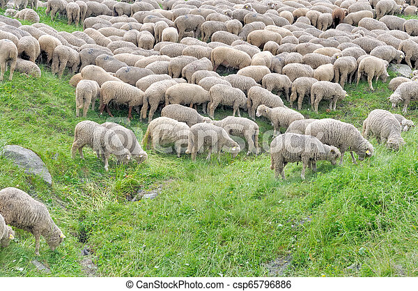 sheep grazing on a greenery alpine meadow - csp65796886