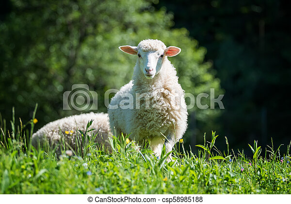 Sheep in a meadow - csp58985188