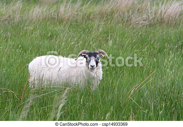 Sheep in a meadow - csp14933369
