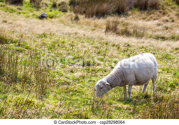 Sheep in a meadow - csp28298064