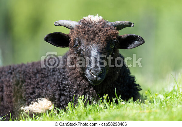 Sheep in a meadow - csp58238466
