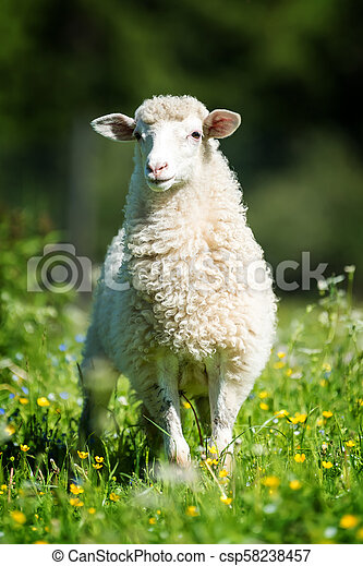 Sheep in a meadow - csp58238457