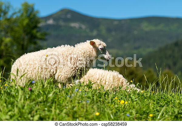 Sheep in a meadow - csp58238459