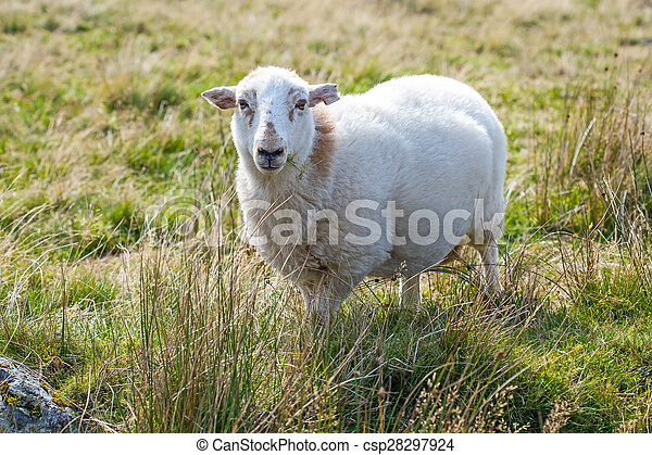 Sheep in a meadow - csp28297924