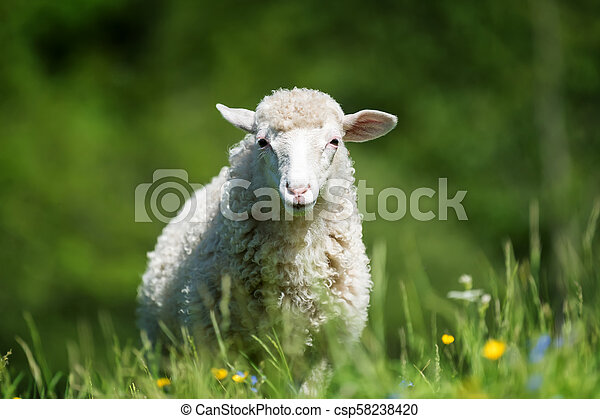 Sheep in a meadow - csp58238420