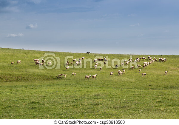 Sheep in a meadow - csp38618500
