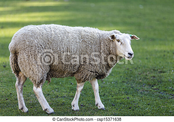 Sheep in a meadow - csp15371638