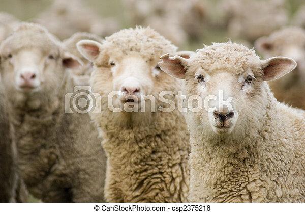 Sheep in a row - csp2375218