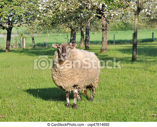 sheep in an orchad - csp47814692