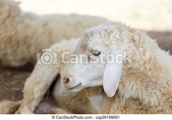sheep in fram meadow - csp26199061