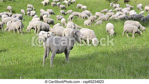 sheep in livestock grazing in spring - csp65234823