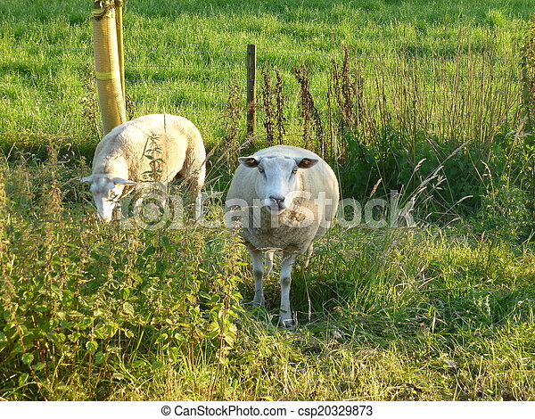 Sheep in the meadow - csp20329873