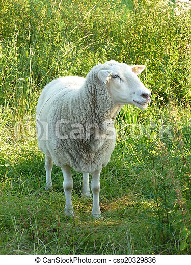 Sheep in the meadow - csp20329836