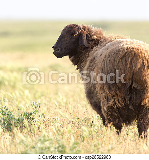 sheep in the pasture - csp28522980