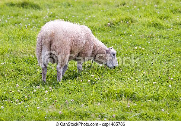 sheep in wild green meadow - csp1485786