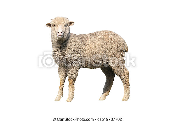sheep isolated - csp19787702