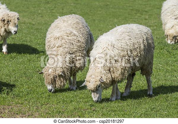 Cotswold león oveja - csp20181297