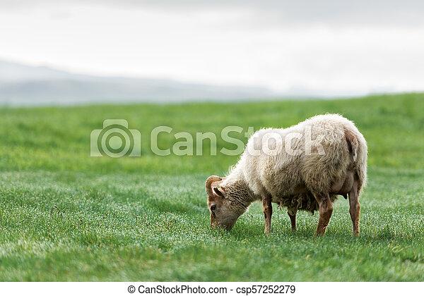 Ovejas en prado verde. - csp57252279