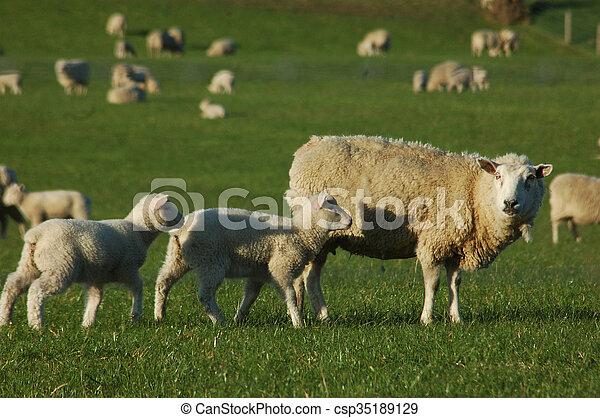 Un grupo de ovejas - csp35189129