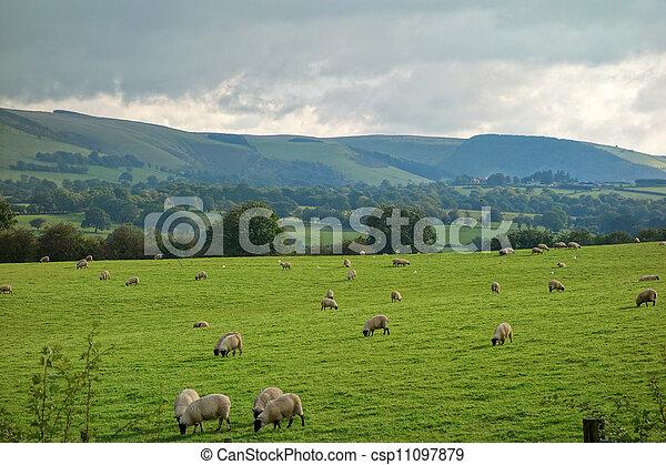 sheep, okolica, pola, górki, grazing., walia - csp11097879