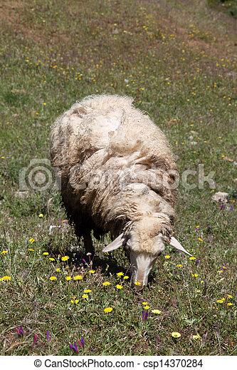 Sheep on a meadow in Chefchaouen, Morocco - csp14370284