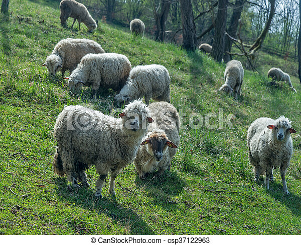 Sheep on a meadow in early spring 03 - csp37122963