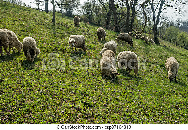 Sheep on a meadow in early spring 05 - csp37164310