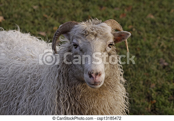 Sheep on a meadow in Germany - csp13185472