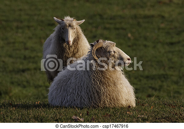 Sheep on a meadow in Germany - csp17467916