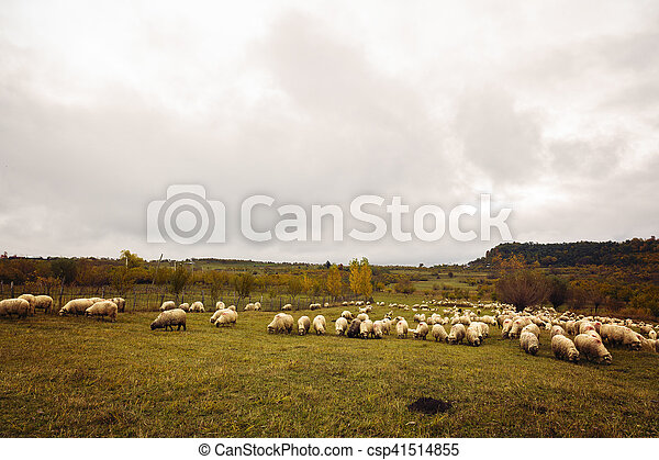 sheep on a meadow in Romania - csp41514855