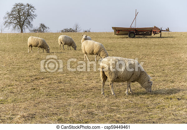 sheep on a meadow - csp59449461