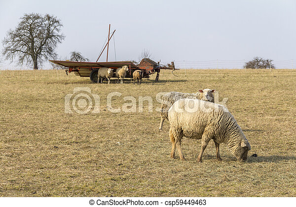 sheep on a meadow - csp59449463