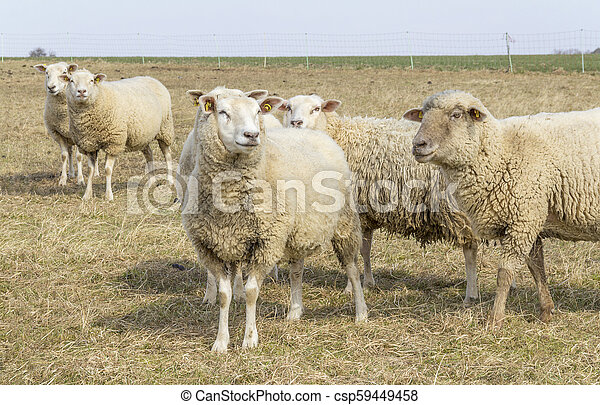sheep on a meadow - csp59449458