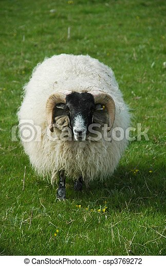 Sheep on a meadow - csp3769272