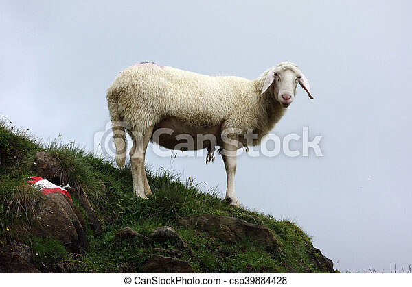 Sheep on a meadow - csp39884428