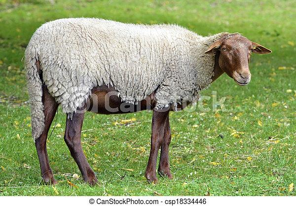 Sheep on grass - csp18334446