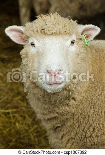 Sheep Portrait - csp1867392