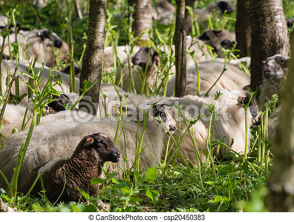 Sheep Resting After Eating Hogweed A Herd Of Sheep Is Used To Get