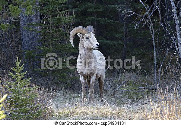 Sheep - csp54904131