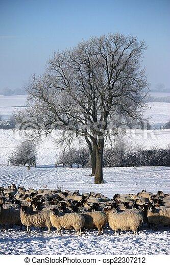 sheep under a tree in winter snow - csp22307212